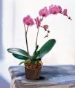 Горшечное растение Орхидея фалинопсис.
