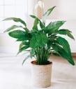 Горшечное растение спатифиллум.