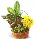 Горшечное растение кротон