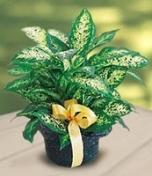 Горшечное растение диффенбахия
