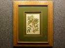 1828 год. Кёртис, гравюра, акварель ЦВЕТЫ в раме