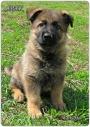 продам щенков немецкой овчарки для дома и охраны
