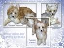 Китайская хохлатая - щенки для Вас